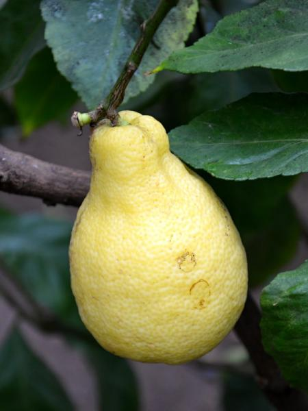 Citrus lemon Peretta